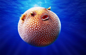 pufferfish 2